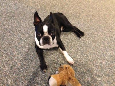 Photo of Max ,Boston Terrier
