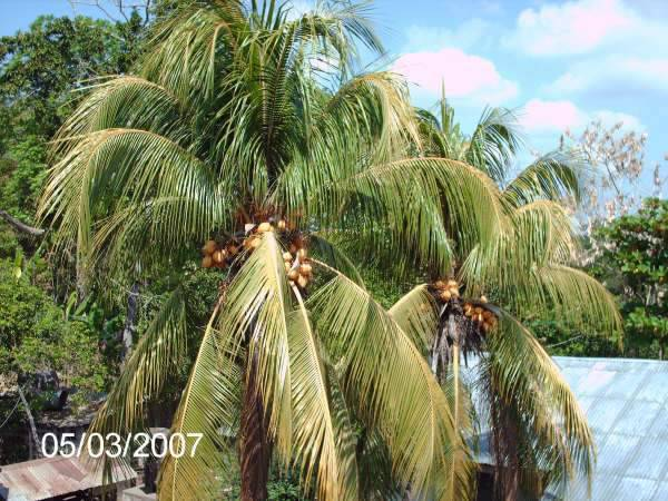 Coconut tree near the church