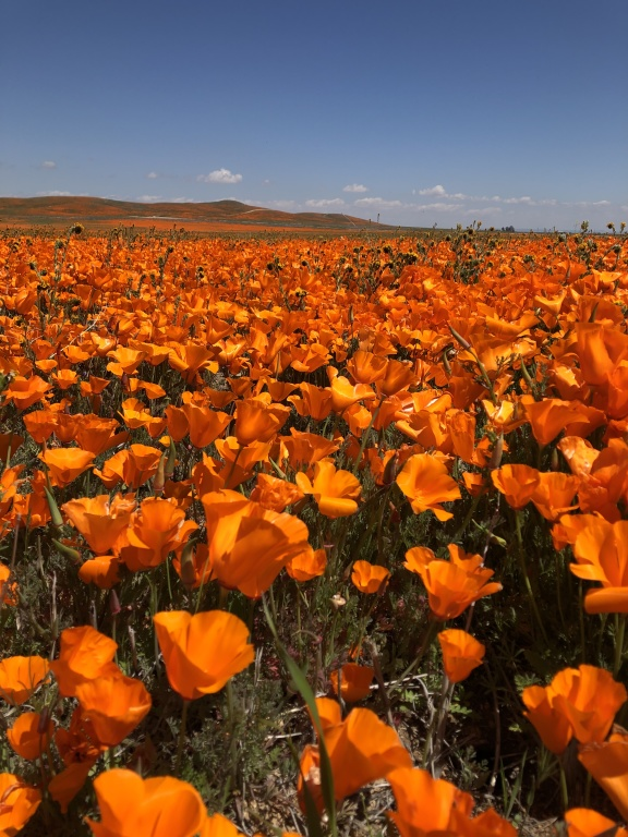 Carpet of Poppies 2020