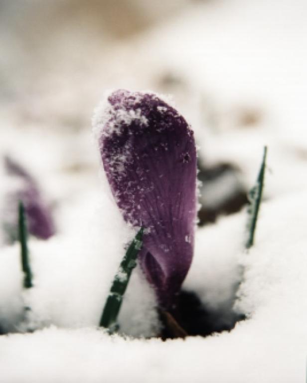 Violet Flower in Snow